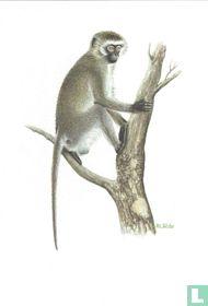 Zoogdieren - Groene meerkat