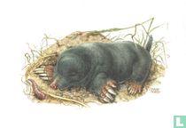 Zoogdieren - Gewone mol