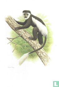Zoogdieren - Guereza