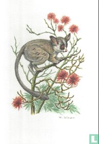 Zoogdieren - Senegalgalago