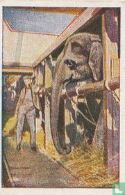 Olifantentransport aan boord van het stoomschip