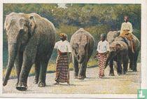 Morgenwandeling der olifanten in het dierenpark