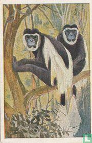 De zijde-apen