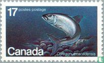 Atlantic Whitefish