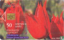 Tulipa rhodopaea
