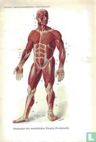 Spieren bij de mens