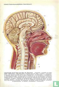 Hersenen bij de mens
