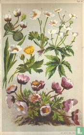 Alpenplanten Afbeelding 15