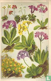 Alpenplanten Afbeelding 09 - Sleutelbloemigen