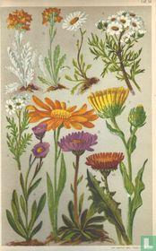 Alpenplanten Afbeelding 14