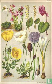 Alpenplanten Afbeelding 24