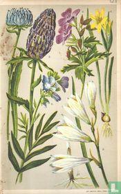 Alpenplanten Afbeelding 05