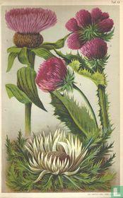 Alpenplanten Afbeelding 13 - Distels