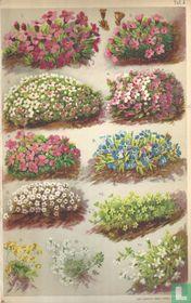 Alpenplanten Afbeelding 04