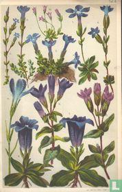 Alpenplanten Afbeelding 08 - Gentiaanfamilie
