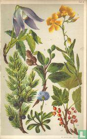 Alpenplanten Afbeelding 03
