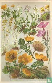 Alpenplanten Afbeelding 22