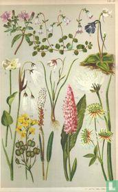 Alpenplanten Afbeelding 21