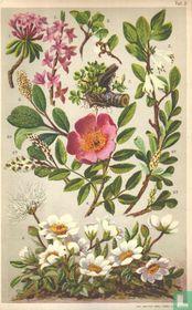 Alpenplanten Afbeelding 02