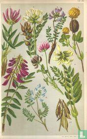 Alpenplanten Afbeelding 20