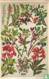 Alpenplanten Afbeelding 01