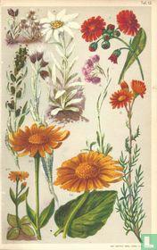 Alpenplanten Afbeelding 12 - Waaronder Edelweiss