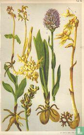 Alpenplanten Afbeelding 19 - Orchideeën