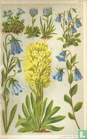 Alpenplanten Afbeelding 11 - Klokjes