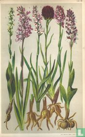Alpenplanten Afbeelding 18 - Orchideeën