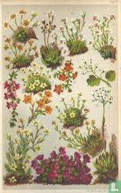 Alpenplanten Afbeelding 17