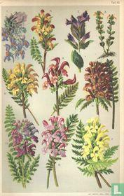 Alpenplanten Afbeelding 10 - Lipbloemigen