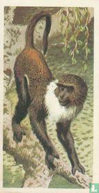Sykes's Monkey