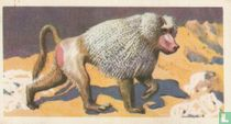 Mantled Baboon