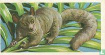 Bushy-tailed Galago