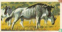 Brindled Gnu or Wildebeest