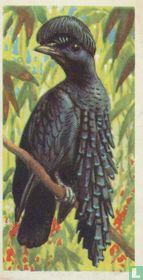 Ornate Umbrella Bird