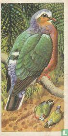 Ceylon Emerald Dove