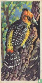 Levaillant's Barbet