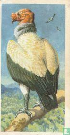 King Condor
