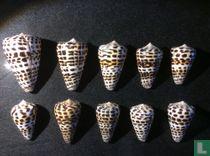 Conus eburneus polyglotta
