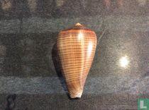 Conus figulinus