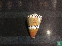 Conus capitaneus