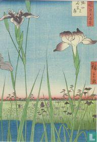 Irises at Horikin