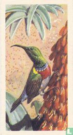 Lesser Double-Collared Sunbird
