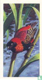 Red Bishop Bird