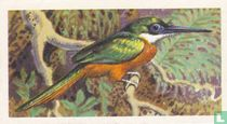 Rufous or Red-Tailed Jacamar