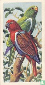 Red-Sided Parrot