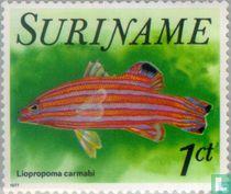 Liopropoma carmabi