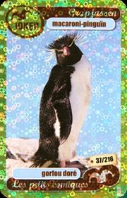 macaroni pinguin
